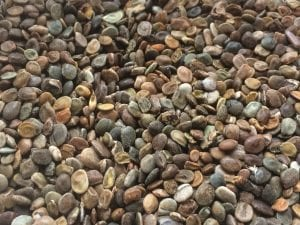 Lupinus albifrons seed