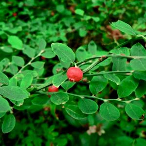 Vaccinium parvifolium-Red huckleberry