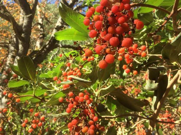Arbutus menziesii_Pacific madrone