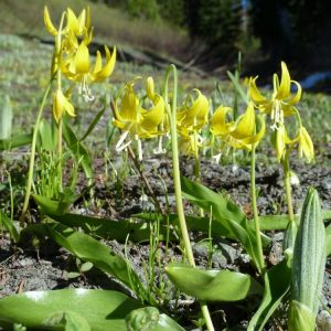 Erythronium grandiflorum-Glacier lily