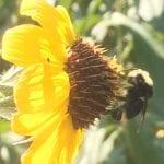 Helianthus bolanderi-Bolander's sunflower
