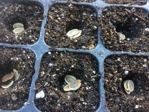 Lomatium californicum seed tray
