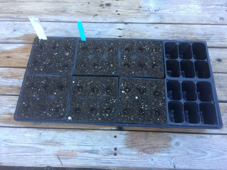 Lupinus albicaulis seed tray