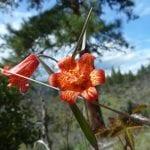 Scarlet fritillary (Fritillaria recurva)