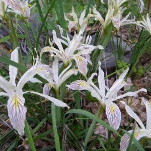 Iris chrysophylla_yellow leaved iris
