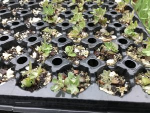 Lupinus latifolius seedlings