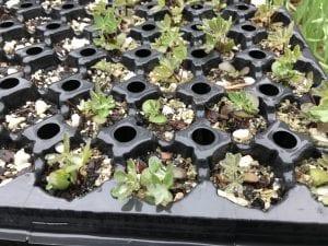 Lupinus latifolius seedlings