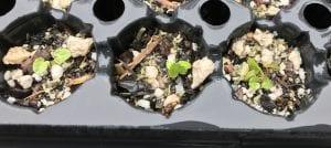 Sidalcea oregana seedlings