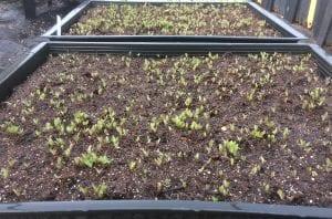 Clematis ligusticifolia seedlings