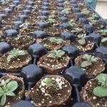 Lupinus albifrons seedlings