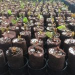 Prunus virginiana seedlings