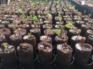 Prunus virginiana seedlings