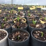 Wyethia angustifolia seedlings in tubes