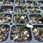 Lomatium californicum_seed tray