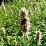 Agastache urticifolia bumble bee