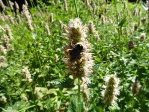 Agastache urticifolia bumble bee