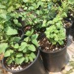 Agastache urticifolia nursery plant