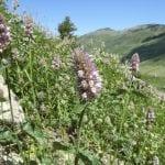 Agastache urticifolia siskiyou mountains