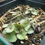 Agastache urticifolia seedlings