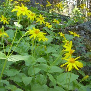 Mountain arnica-Arnica latifolia