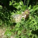 Agastache urticifolia-parnassian butterfly