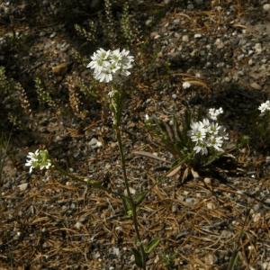 Noccaea fendleri-Fendler's pennycress