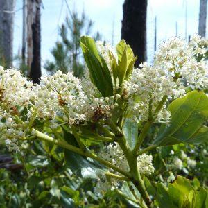 Ceanothus velutinus-snowbrush
