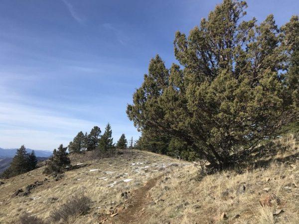 Juniperus occidentalis-Western juniper