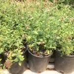 Monardella odoratissmia - Coyote mint plants