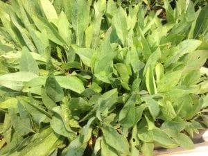 Rudbeckia glaucescens - Waxy coneflower plants