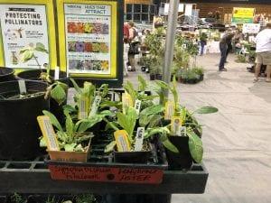 Jackson County Master Gardener's leafybrack aster plants grown from KSNS seeds!