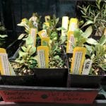 Jackson County Master Gardener's hot rock penstemon plants grown from KSNS seeds!