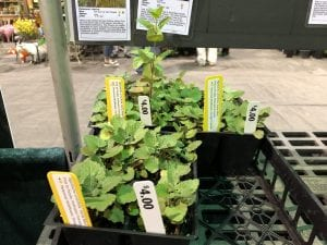Jackson County Master Gardener's horsemint plants grown from KSNS seeds!