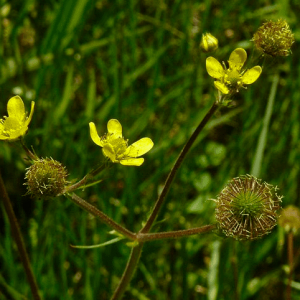 Geum macrophyllum-Largeleaf avens