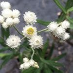 Anaphalis margaritacea-Pearly everlasting