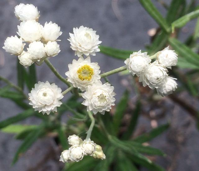 Anaphalis margaritacea-Pearly everlasting