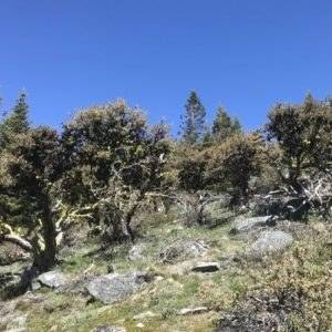 Cercocarpus ledifolius-Curl leaf mountain mahogany
