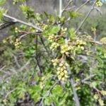 Rhus aromatica-Fragrant sumac