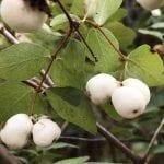 Symphoricarpos albus-Snowberry